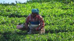 Le Kerala, le thé et les épices