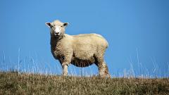 Un mouton, deux moutons, trois moutons…